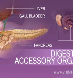accessory organs of digestion include the liver gall bladder pancreas and salivary glands [ 1232 x 863 Pixel ]