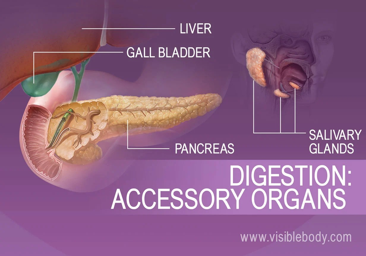 hight resolution of accessory organs of digestion include the liver gall bladder pancreas and salivary glands
