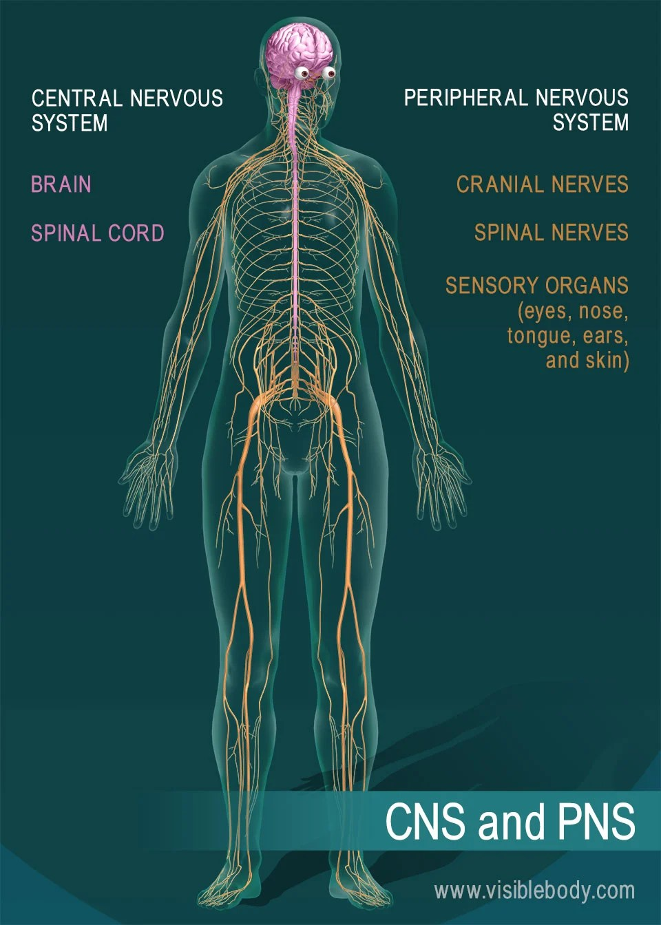 medium resolution of the brain and spinal cord are the central nervous system nerves and sensory organs make up the peripheral nervous system