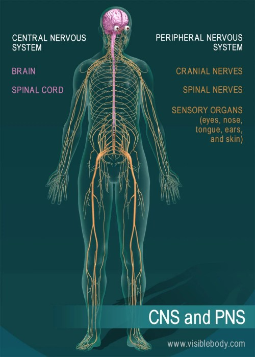 small resolution of the brain and spinal cord are the central nervous system nerves and sensory organs make up the peripheral nervous system