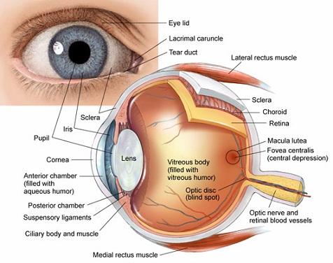 Eye Anatomy And How The Eye Works