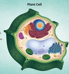 figure 6 a diagram of a typical plant cell  [ 1400 x 934 Pixel ]