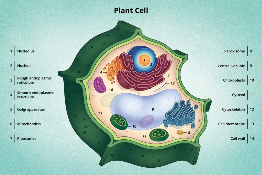 medium resolution of figure 6 a diagram of a typical plant cell