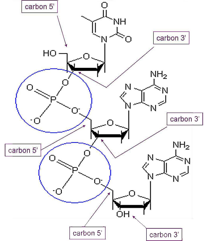 hight resolution of phosphodiester bonds
