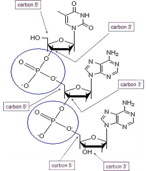 small resolution of phosphodiester bonds