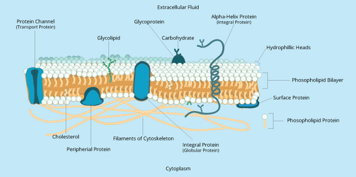 diagram of fluid mosaic model cell membrane domain vs class membranes i | biology visionlearning