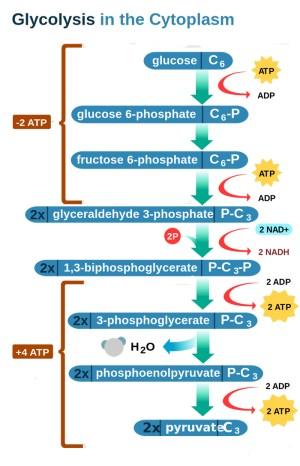 Energy Metabolism I | Biology | Visionlearning
