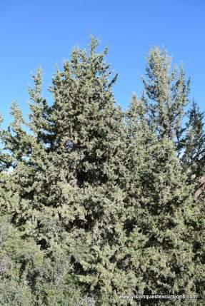 Juniper Pines