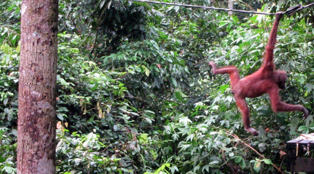 Orangutan at Sepilok Rebahilitation Centre Malaysia-1