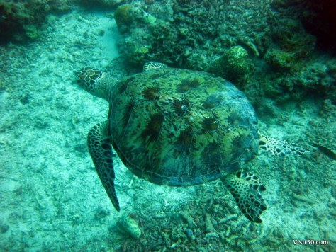 Green Sea Turtle while on a Sipadan Borneo diving trip