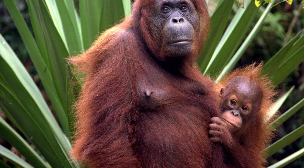 Orangutans in Borneo Southeast Asia travel adventure