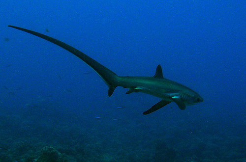 Thresher Sharks have huge tails