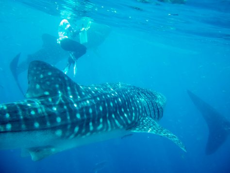 photo from snorkeling with whale sharks in the Philippines