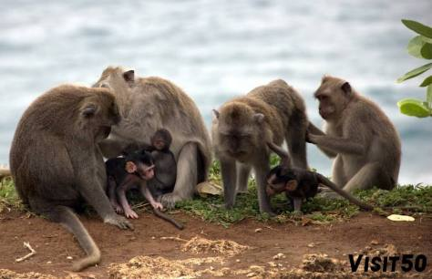 group of macaque monkeys in Asia in Bali
