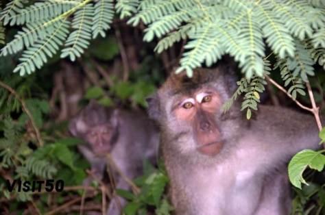Macaque Monkeys in Asia at Ulu Watu Visit50 - 3