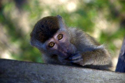 Macaque Monkeys in Asia in Bako in Borneo