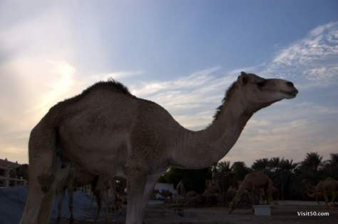 Camel in Bahrain