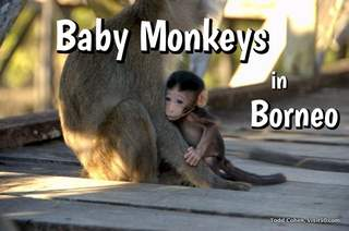 Baby Monkeys in the Borneo Wild. See the adorable baby monkeys