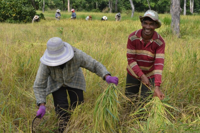 Mr. Pel (r) and his wife harvesting rice