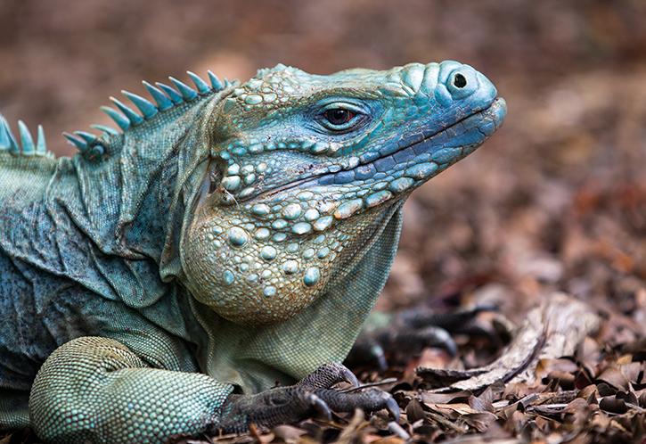 Blue Iguana Release   Wild Life Grand Cayman   Beauty of Cayman