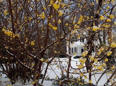feb wintersweet