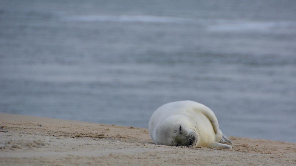 A seal near the island of Vlieland, The Netherlands, laying on a sandbank or beach
