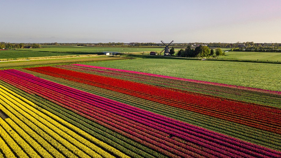 Where to see tulip fields without tourists in The Netherlands | Tulip fields in Noord-Holland, The Netherlands | Tulip fields tips from a local Dutch citizen.|