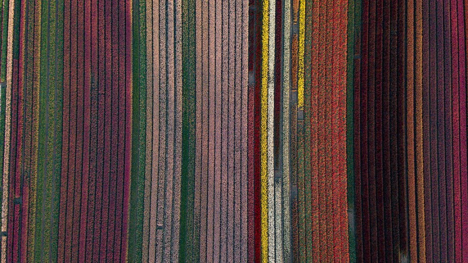Where to see tulip fields without tourists in The Netherlands | Tulip fields in Noord-Holland, The Netherlands | Tulip fields tips from a local Dutch citizen.