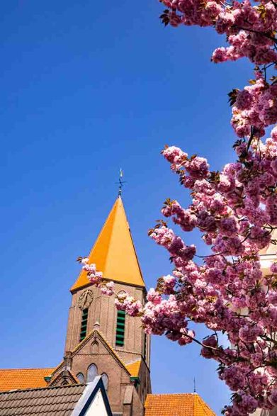 Cherry blossoms trees in front of a brown brick church with an orange tower