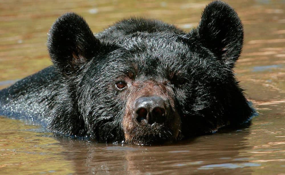 Smoky Mountain Black Bear Goes for a Swim in Backyard Pool