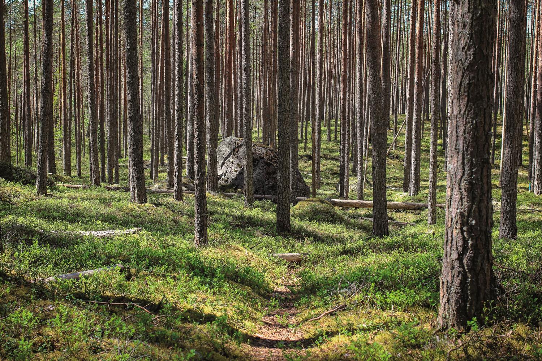 Mäntymetsää Pyhä-Häkin kansallispuistossa. Kuva Saara Tervala retkeilyKS P