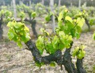 Vine spring Sardinia