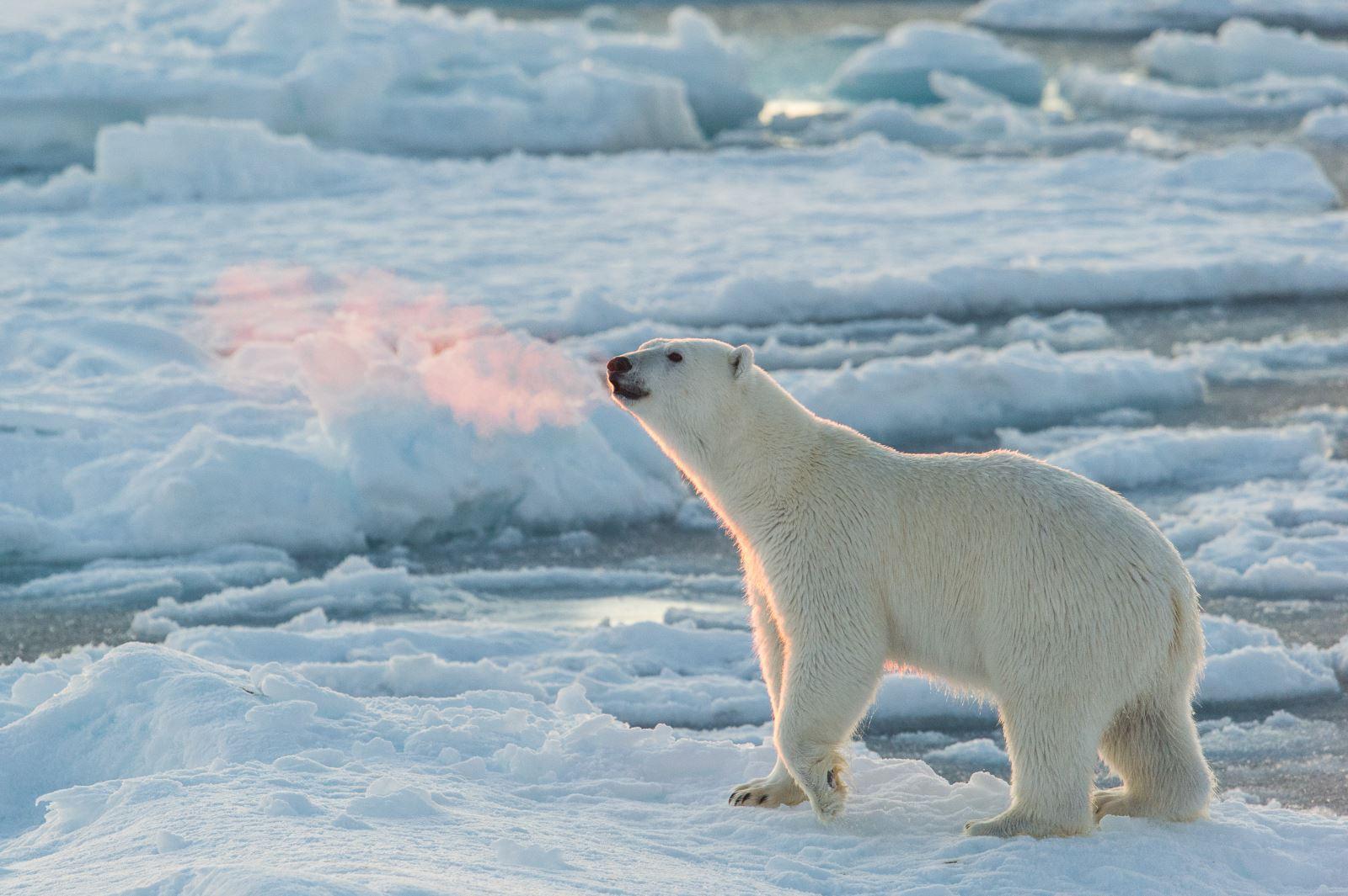 polar bear diagram healthy heart isbjørn