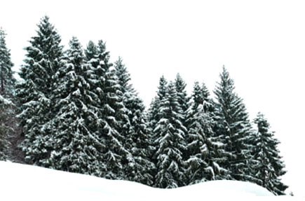 Image result for evergreens in winter