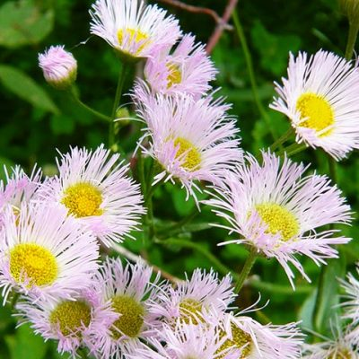 gimli wild flowers