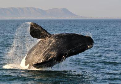 Proposta de liberar caça a baleias tem votação adiada em Florianópolis