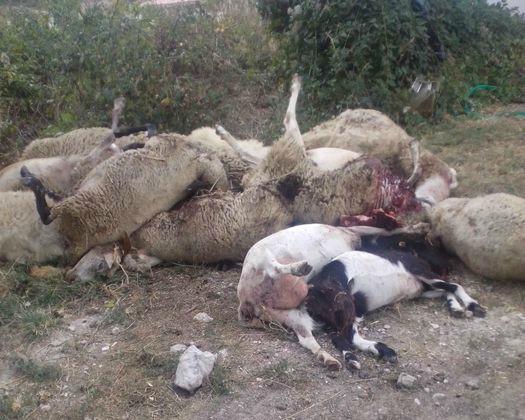 Ploaghe 135 pecore e 4 cani trovati sgozzati Gli allevatori della zona hanno dato lallarme