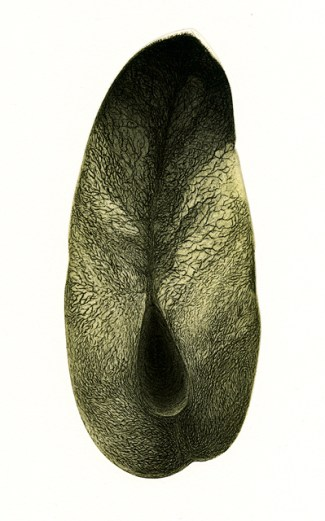 Konstantinos Meramveliotakis - Fruit section (etching)
