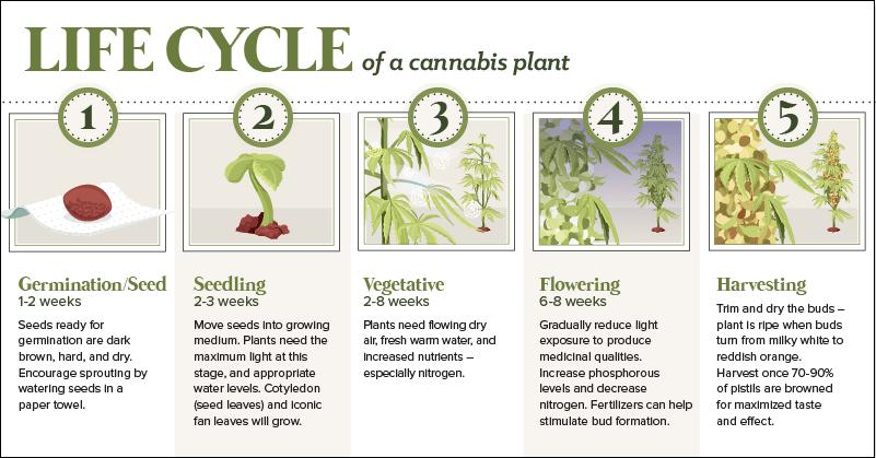 Northern Lights Cannabis Yield Plant