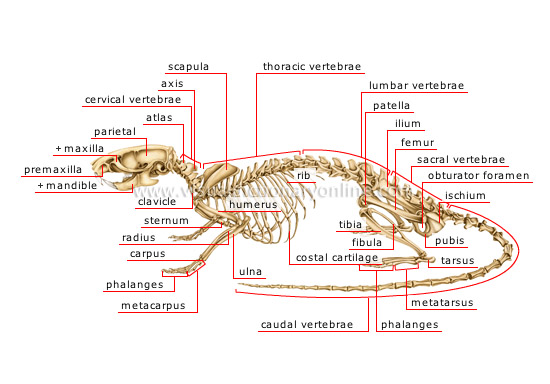rat digestive system diagram quiz how to wire a subpanel skeleton a8e lektionenderliebe de animal kingdom rodents and lagomorphs rodent of rh visualdictionaryonline com