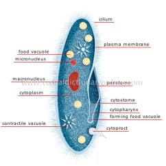 Cilia Animal Cell Diagram Whirlpool Conquest Ice Maker Kingdom :: Simple Organisms And Echinoderms Unicellulars Paramecium Image - Visual ...