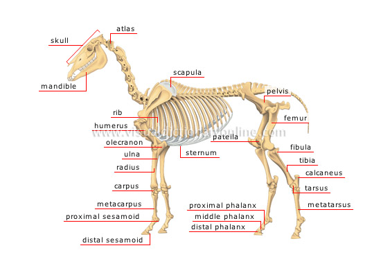 horse skeleton diagram labeled meyers snow plow wiring animal kingdom ungulate mammals of a