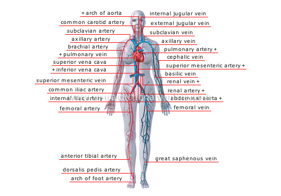 human vascular anatomy diagram porsche 944 turbo wiring being blood circulation principal veins and arteries