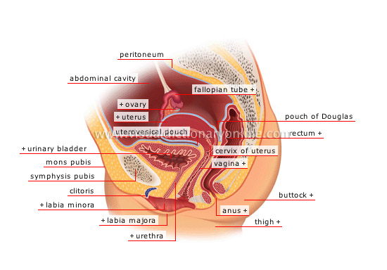 sagittal section - Visual Dictionary Online