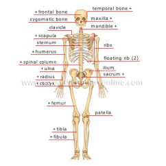 Human Skull Bones Diagram Labeled Process Flow Symbols Visio Being Anatomy Skeleton Anterior View Image Visual