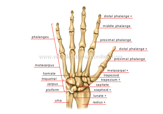 forearm bones diagram 98 honda accord alarm wiring human being anatomy skeleton hand image visual dictionary