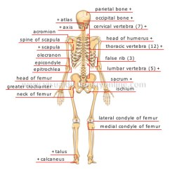 Diagram Of Skeletal Ribs Farmall Super A Wiring Human Being Anatomy Skeleton Posterior View Image Visual