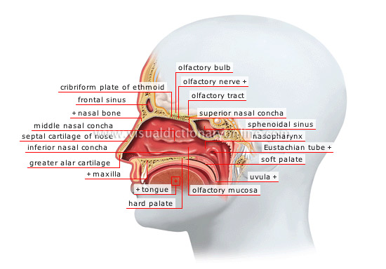 diagram of the nose and its functions vw golf wiring mk5 human being sense organs smell taste nasal fossae image