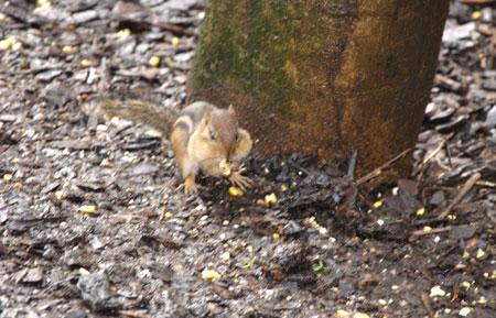 Chubby-cheeked chipmunk