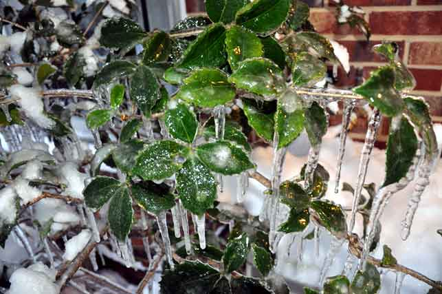 Holly in Icicles